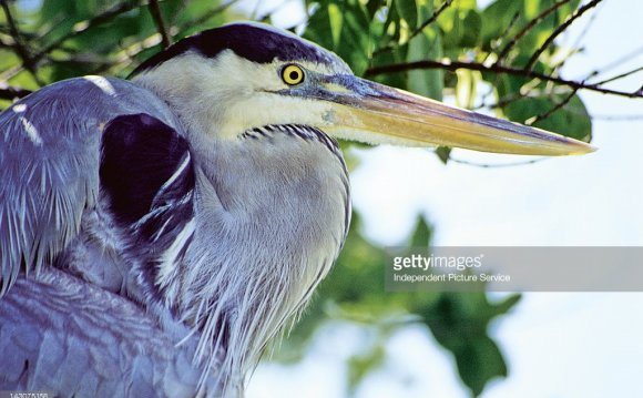 Great Blue Heron, Galapagos