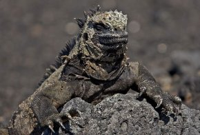 A Galapagos Iguana doing well to blend in