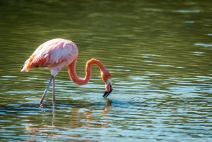 A lone flamingo searches for his lunch.