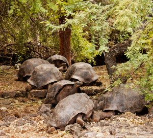 galapagos-for-kids-giant-tortoises