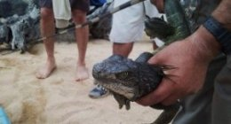 invasive mainland iguana captured in the Galapagos