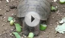 Baby Giant Tortoises at Charles Darwin Research Station